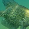 Panfish in the Fall